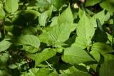 Stor häxört (Circaea lutetiana)
