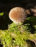 Igelkottröksvamp (Lycoperdon echinatum)