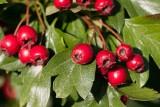 Hagtorn (Crataegus sp)