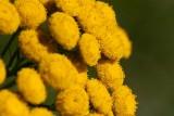 Renfana (Tanacetum vulgare)