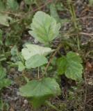 Smällspirea (Physocarpus opulifolius)