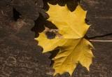 Lönntjärfläck (Rhytisma acerinum)