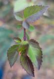 Bågforsythia (Forsythia suspensa var. fortunei)