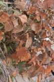 Rosenslide (Fallopia japonica var. compacta)
