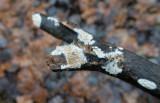 Stor hjortticka (Datronia mollis)