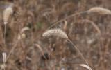 Stor kavelhirs (Setaria viridis var. major)