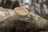 Tegelticka (Daedaleopsis confragosa)