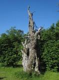 Ek Lojstaeken (Quercus robur)
