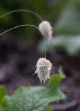 Harsvans (Lagurus ovatus)