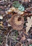 Lundspindling (Cortinarius nemorensis)
