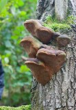Ekticka (Phellinus robustus)