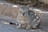 Gordon's Wildcat (Felis silvestris gordoni)