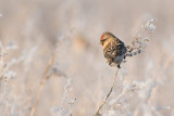 Common Redpoll (Acanthis flame)