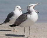 Pallas's Gull (Ichthyaetus ichthyaetus)