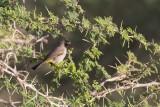 Yellow-vented Bulbul (Pycnonotus xanthopygos)