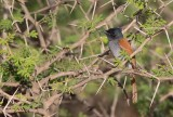 African Paradise Flycatcher (Terpsiphone viridian)