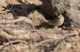 Long-billed Pipit (Anthus similis)