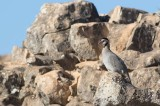 Arabian Partridge (Alectoris melanocephala)