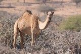 Dromedary (Camelus dromedarius)