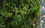 Allémossa (Leucodon sciuroides)