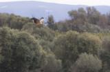 Spanish Imperial Eagle (Aquila adalberti), 2K