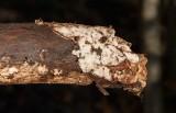 Fläckticka (Skeletocutis nivea)
