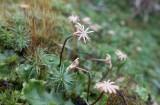 Lungmossa (Marchantia polymorpha ssp. ruderalis)