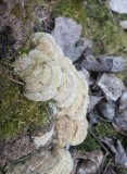 Björkmussling (Lenzites betulina)