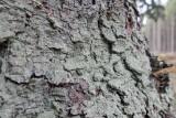 Blågrå mjöllav (Lepraria inmana)