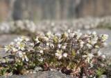 Nagelört (Erophila verna)