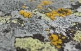 Kuddägglav (Candelariella coralliza)