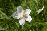 Tovsippa (Anemone sylvestris)