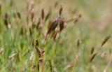 Vårbrodd (Anthoxanthum odoratum)
