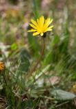 Ostenfelds maskros (Taraxacum ostenfeldii)