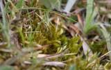 Kalklockmossa (Homalothecium lutescens)