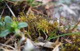 Gruskammossa (Abietinella abietina)