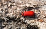 Stor kardinalbagge ((Pyrochroa coccinea))