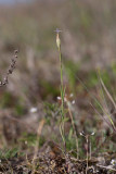 Hylsnejlika (Petrorhagia prolifera)