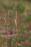 Flentimotej (Phleum phleoides)
