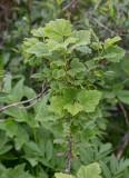 Lappvinbär (Ribes spicatum ssp. lapponicum)