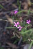 Knippnejlika (Dianthus armeria)