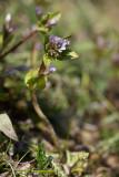 Blekgentiana (Gentianella aurea)