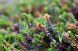 Nordkråkbär (Empetrum nigrum ssp. hermaphroditum)