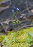 Fjällveronika (Veronica alpina)