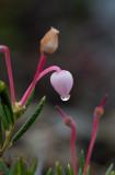 Rosling (Andromeda polifolia)