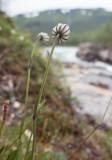 Fjällblära (Silene wahlbergella)