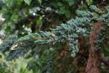 Himalaya-en (Juniperus squamata)