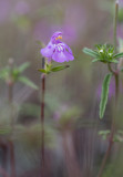 Kalkdån (Galeopsis angustifolia)