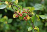 Bärapel (Malus baccata)