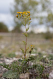 Knappstånds (Senecio jacobaea ssp. dunensis)